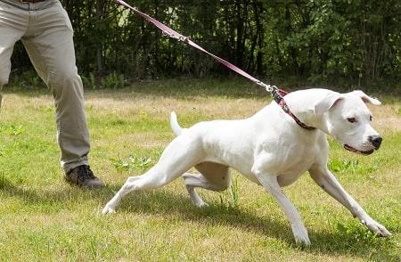 Dogo Argentino Training