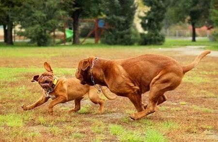 Dogue de Bordeaux Training