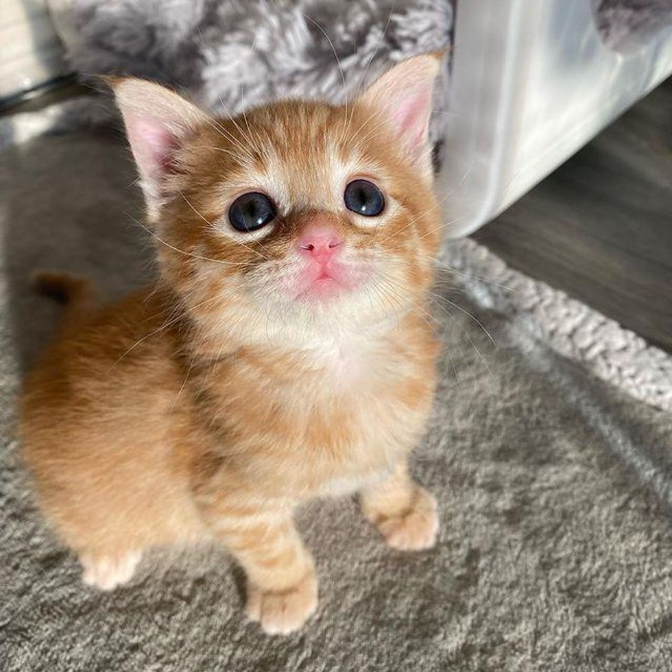 Kitten from the Street Flourishes into Endearing Ginger Tabby Through the Kindness of Family