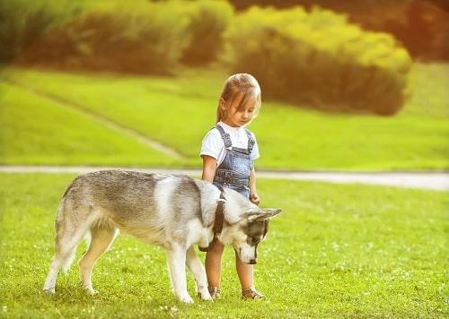 Saarloos Wolfdog Breed Info