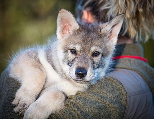 Saarloos Wolfdog Puppy