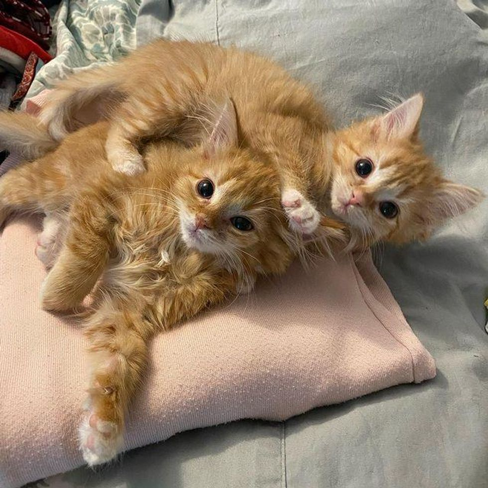 Twin Kittens So Thrilled to Have Comfy Place to Stay They Thrive into Happy Ginger Cats