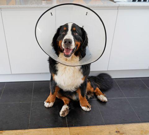 When to Neuter a Dog