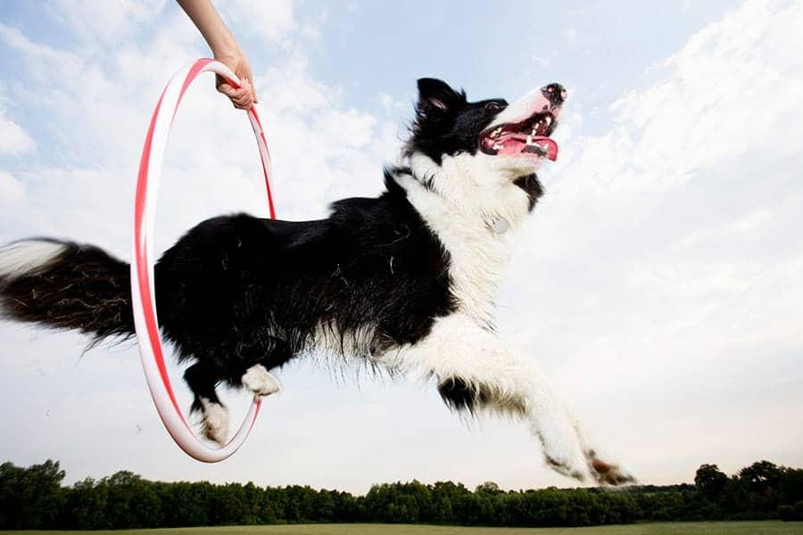 96 Dog Tricks: The Ultimate List