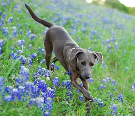 Blue Lacy Training