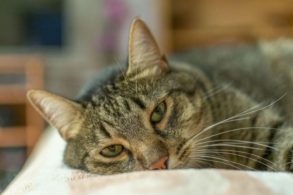 Feline Pancytopenia – Senior Vet Advises on Symptoms to Look out for