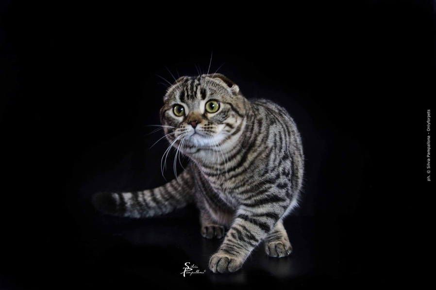 First UK Live Cat Show Post Lockdown! Marks 150 Years of UK Cat Shows