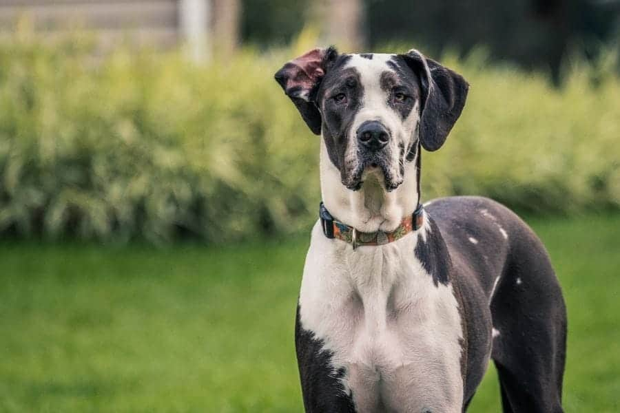 Great Dane Names – 655+ Ideas for Your Gentle Giant