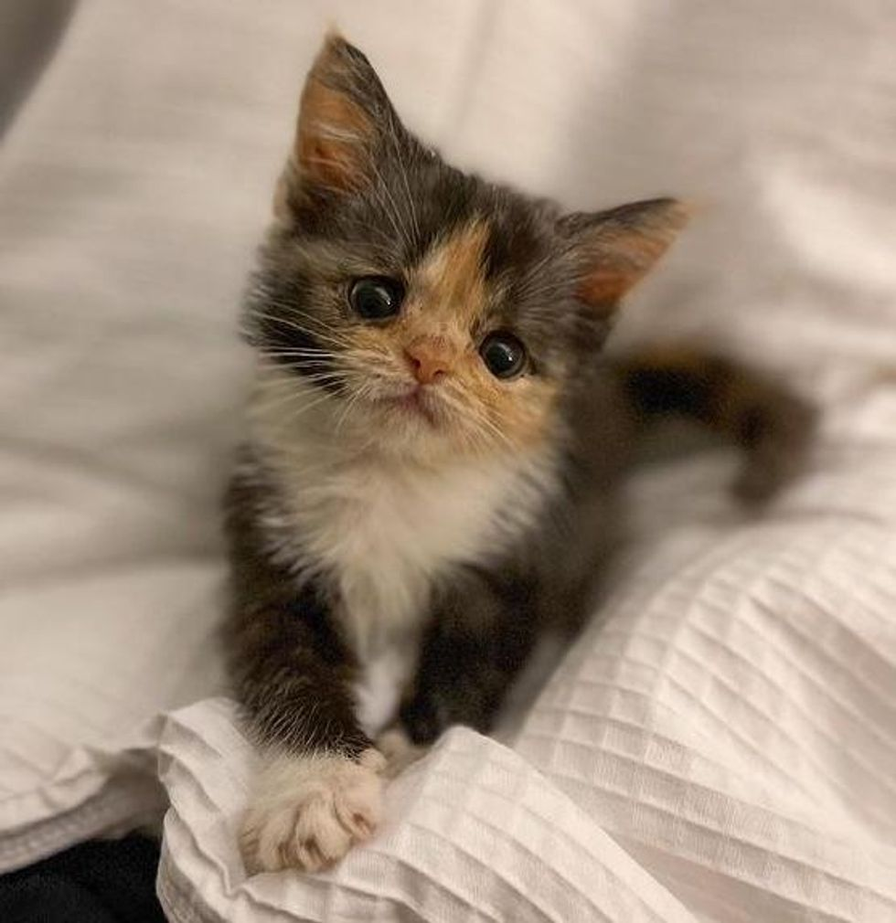 Kitten with Strong Will Transforms from Tiny Preemie to Adorable Fluffy Calico