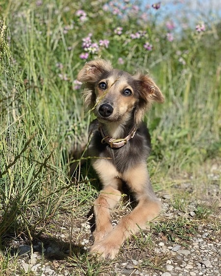 Longhaired Whippet Puppies