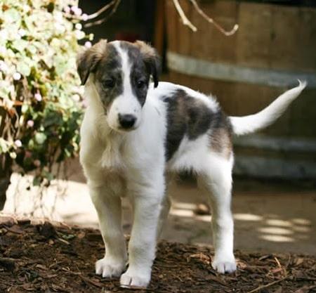 Silken Windhound Puppies