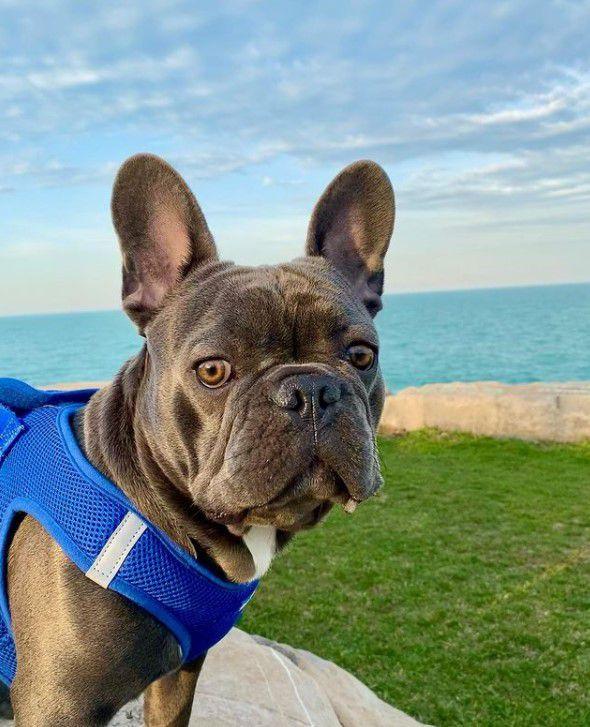 Blue Frenchie Wins America's Favorite Pet 2021
