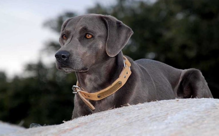 Blue Lacy – The Texas Breed