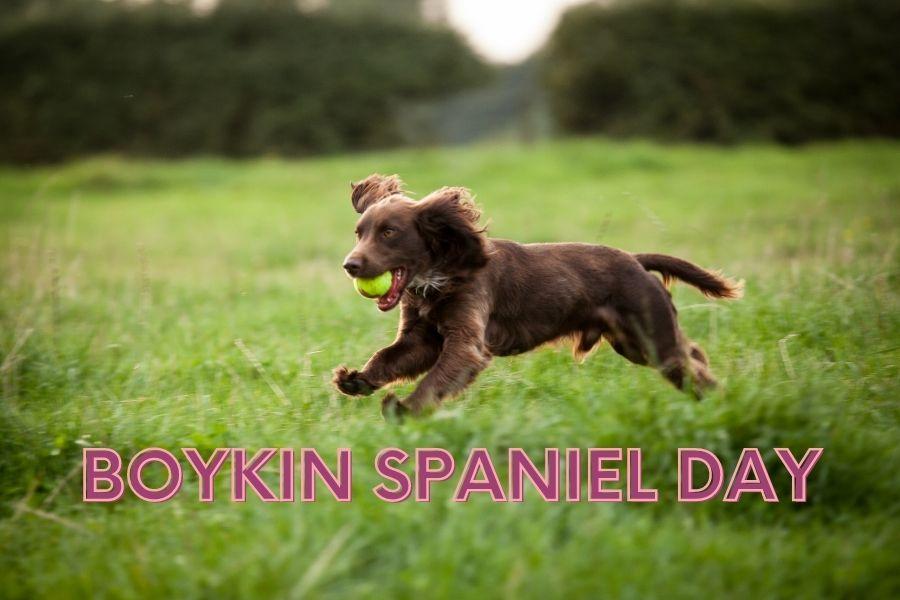 Boykin Spaniel Day