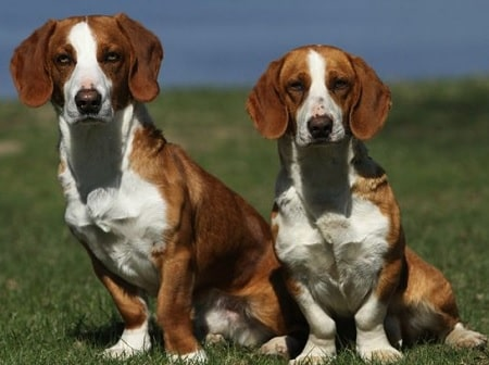 Drever Dog Training
