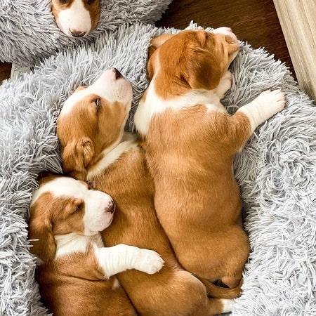 Drever Puppies