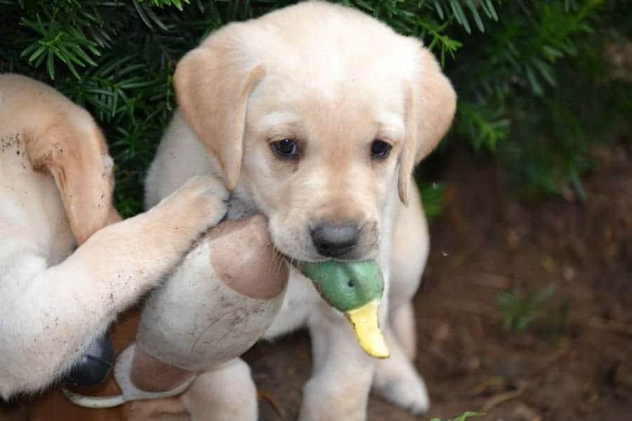 Hunting Dog Names – 215+ Names for Your Puppy Pal