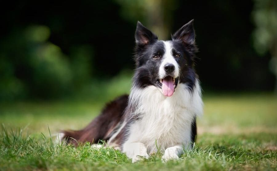 Top Border Collie Names – 785+ Names For Your Pup