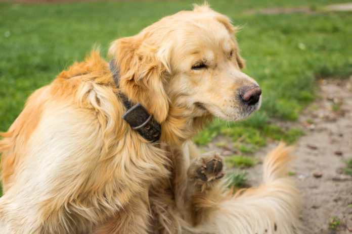 Understanding allergic dermatitis in dogs