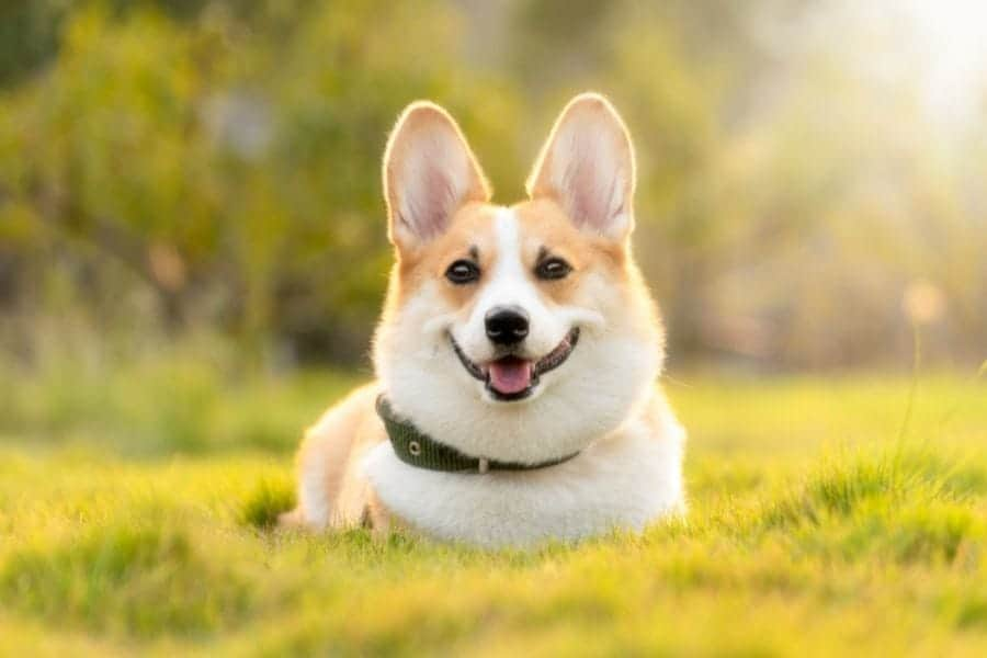 Corgi Price – What Does This Cute Canine Cost?
