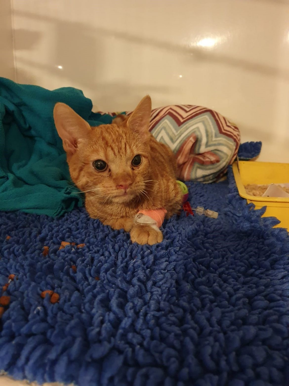 Kitten Found Loving new Home After Needing Emergency Care for Broken Bones and Fractured Ribs