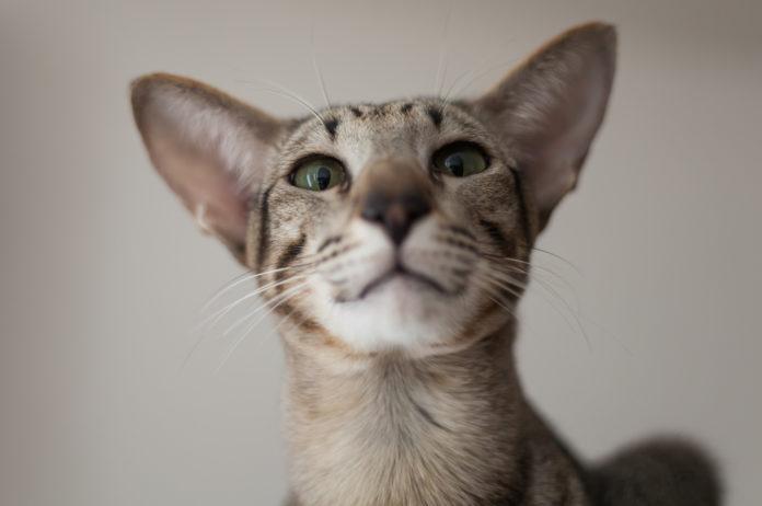 What is feline hyperesthesia?